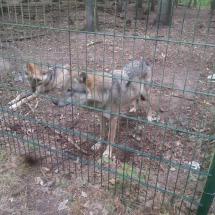 besuch-wolfscenter-herbstferien16-006